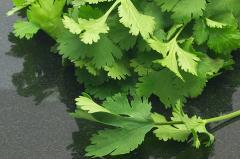 Cilantro + fennel