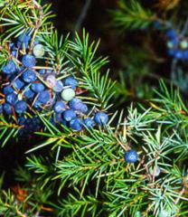 Juniper fruits, bag of 25 kg