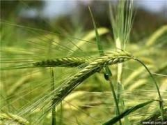 Семена злаковых культур