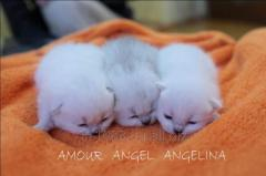 British kittens silvery chinchillas and