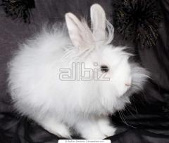 Angora dwarfish rabbits of a white blue-eyed color