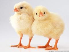 Суточные цыплята-бройлера кросс росс-708