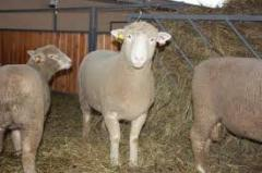 Breeder sheeps. EXPORT. Transportation to Europe,
