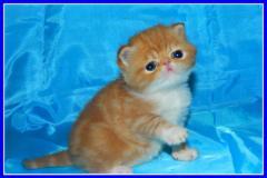 Doll, plush exotic short-haired kittens