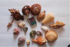 Морские и океанские ракушки на вес оптом и в