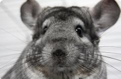 Chinchillas standard, Black Velvet, White Wilson,