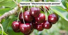 "Черешня ""Мелитопольская ранняя"""
