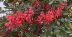 Барбарис съедобный (красный лист)