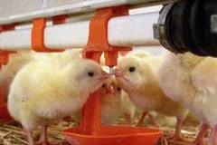 Цыплята суточные Адлерская серебристая
