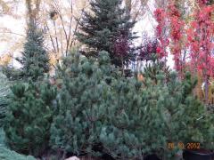 Saplings Pine cedar