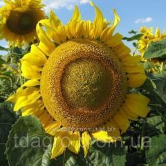 Семена подсолнечника Лиман ОR, стандарт