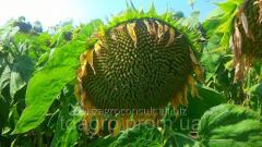 Семена подсолнечника Богдан, стандарт