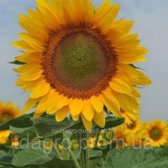 Семена подсолнечника Барон