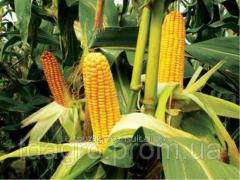 Семена кукурузы ТАР-349 МВ ФАО 290