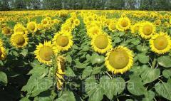Семена подсолнечника НС Оскар