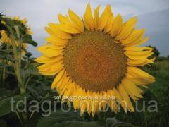 Семена подсолнечника НС-Х-6045 под Евролайтинг, стандарт, 111-114 дней