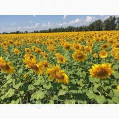 Семена подсолнечника Сулико 50, стандарт, 110-115 дней, под Гранстар (Экспресс)