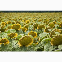 Семена подсолнечника Сулико 25, стандарт, 108-113 дней, под Экспресс (Гранстар)