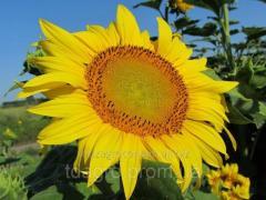 Семена подсолнечника НС Х 2652, экстра,106-109 дней, под Гранстар (Экспресс)