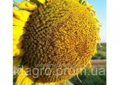 Семена подсолнечника НС Х 1752, Экстра, под Экспресс (Гранстар), 102-105 дней