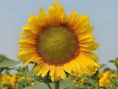 Семена подсолнечника НС Таурус, экстра, под евролайтинг