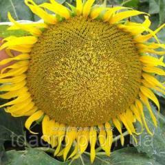 Семена подсолнечника Командор, экстра, устойчив к 7 расам заразихи