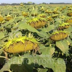 Семена подсолнечника Старобельский OR, экстра