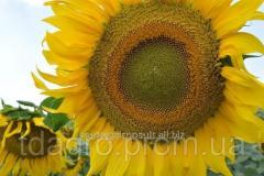 Семена подсолнечника Деркул OR, экстра