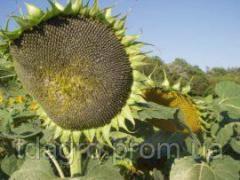 Семена подсолнечника Айдар, экстра