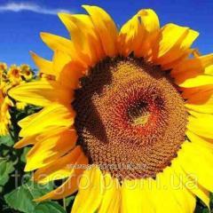 Семена подсолнечника Зурими КЛ, под евролайтинг, 114-118 дней