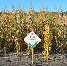Семена кукурузы ДМС Гроно (ФАО 260)