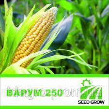 Семена кукурузы Varum 250 (ФАО 250)