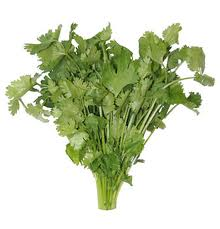 Cilantro (Coriander) fresh of Israel (greens