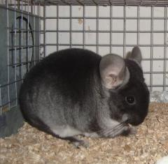 Chinchillas Black Velvet, Ukraine, Donetsk