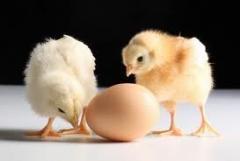 Цыплята суточные породы Адлерская серебристая