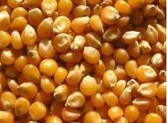 The corn is fodder, to buy corn, export deliveries