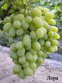 Саженцы винограда (посадочная материал) Лора.