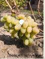 Саженцы винограда (посадочная материал)Подарок
