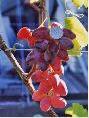 Саженцы винограда (посадочная материал)Спорт