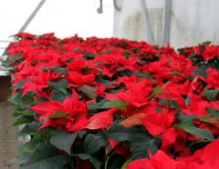 Poinsettia wholesale and retail