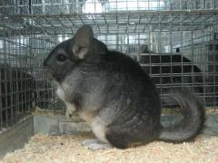 Chinchillas wholesale and retail various colors,