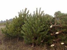 Елки натуральные новогодние, деревья новогодние,