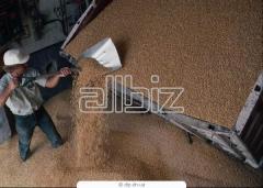 Зерно, зерновые культуры от производителя в