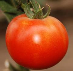 Семена томатов ПЬЕТРО F1 250 сем.
