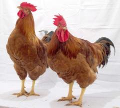 Мясо-яичный гибрид Космос, молодняк кур, молодняк