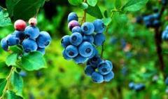 Bilberry powder (powder of chornitsa і)
