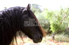 Studhorses