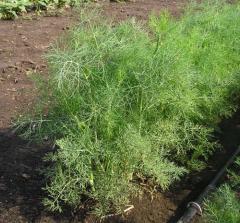 Семена пряных трав