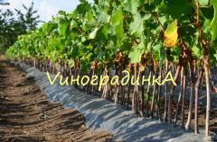 Саженцы винограда :ранние, средние, поздние