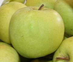 Яблоки сорта Мутсу, продажа, Шаргород, Украина